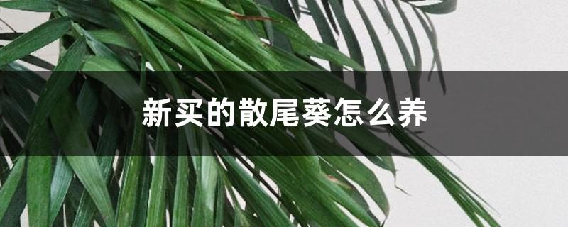 新买的散尾葵怎么养