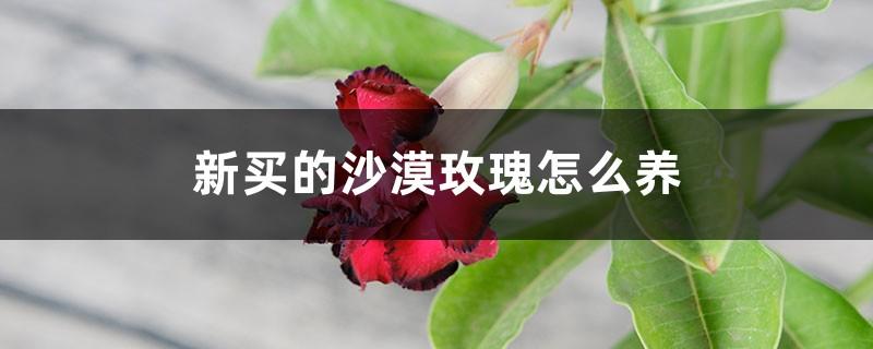 新买的沙漠玫瑰怎么养