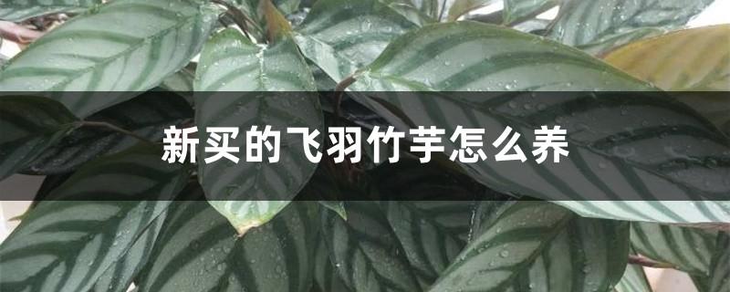 新买的飞羽竹芋怎么养