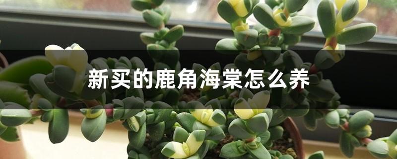 新买的鹿角海棠怎么养
