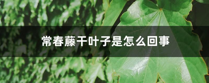 常春藤干叶子是怎么回事