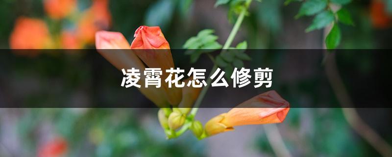 凌霄花怎么修剪,是常绿植物吗