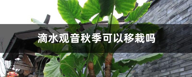 滴水观音秋季可以移栽吗,移栽后叶子发黄
