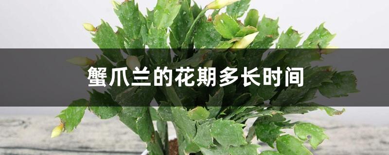 蟹爪兰的花期多长时间,如何延长花期