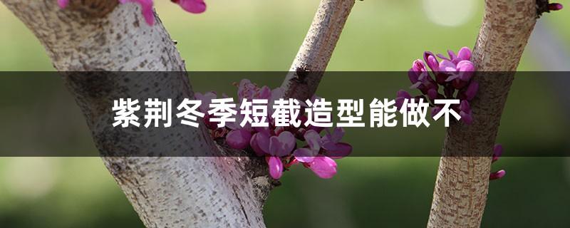 紫荆冬季短截造型能做不,冬季注意事项