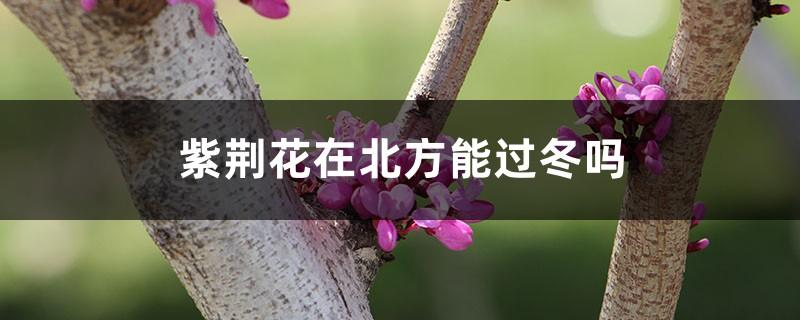 紫荆花在北方能过冬吗,有什么越冬的措施