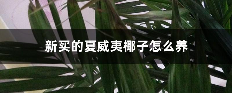 新买的夏威夷椰子怎么养
