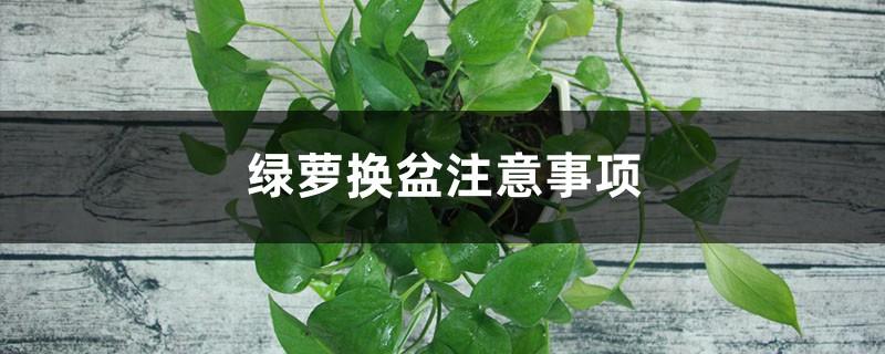 绿萝换盆注意事项