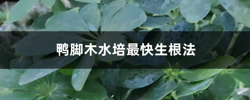 鸭脚木水培最快生根法