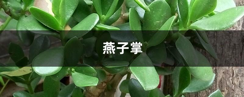 """燕子掌绿油油超耐看,学会这样养,开花爆盆能更""""快""""!"""