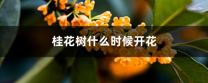 桂花树什么时候开花