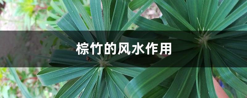 棕竹的风水作用,养在客厅可以吗