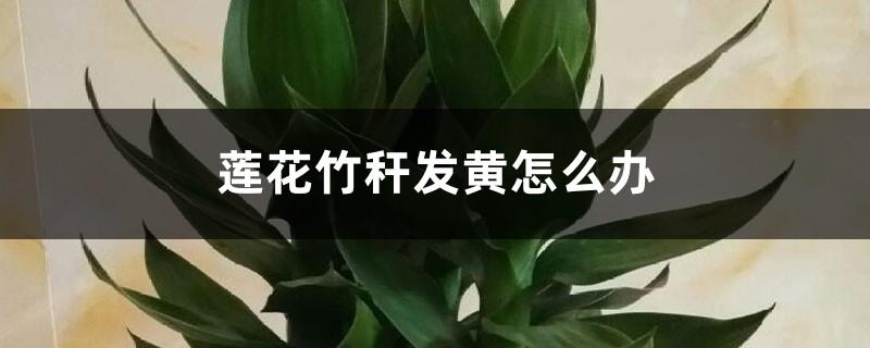 莲花竹秆发黄怎么办