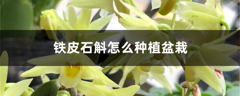 铁皮石斛怎么种植盆栽