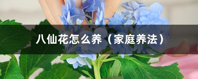 八仙花怎么养(家庭养法)