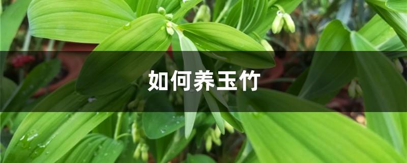 如何养玉竹