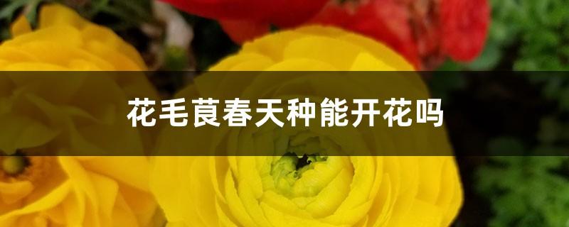 花毛茛春天种能开花吗
