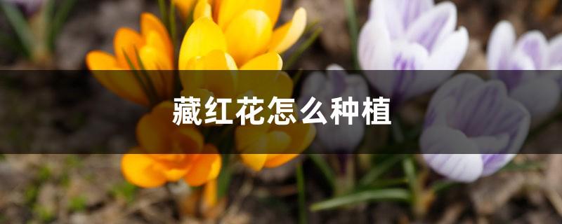 藏红花种植条件和地区、方法