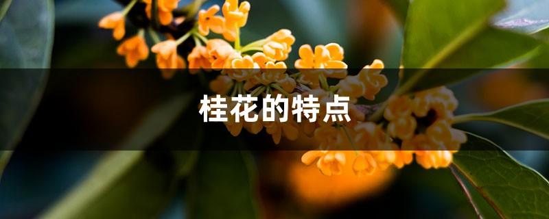 桂花的特点