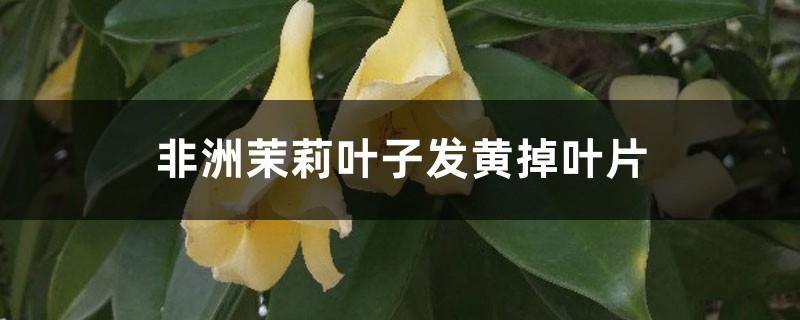 非洲茉莉叶子发黄掉叶片怎么办