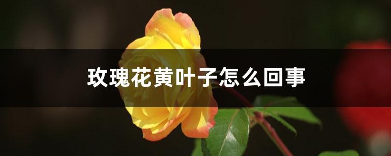 玫瑰花黄叶子是怎么回事