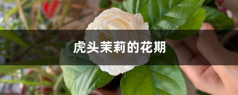 虎头茉莉的花期