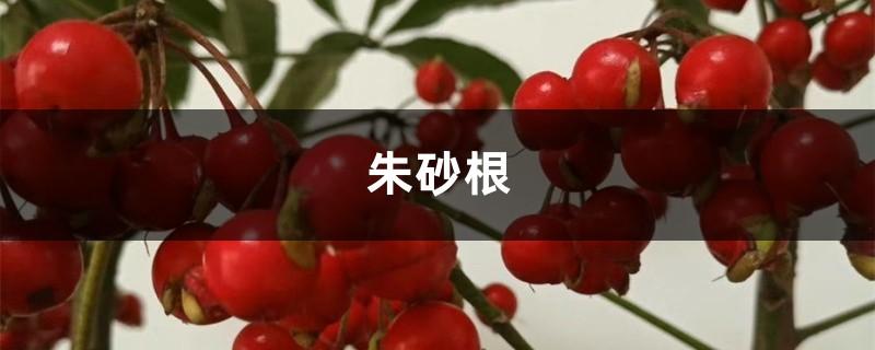朱砂根(富贵籽)的养殖方法和注意事项