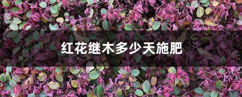 红花继木多少天施次肥