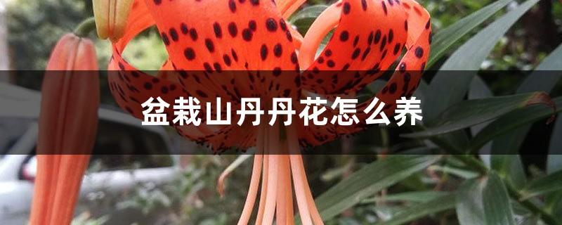 盆栽山丹丹花怎么养