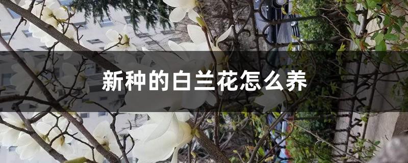 新种的白兰花怎么养