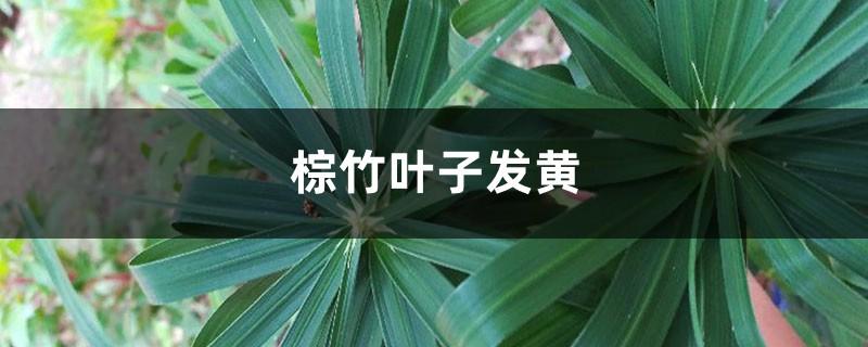 棕竹黄叶的原因和处理办法