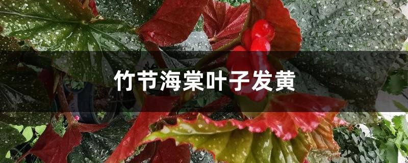 竹节海棠黄叶的原因和处理办法
