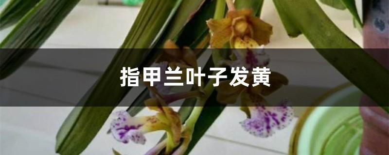 指甲兰黄叶的原因和处理办法
