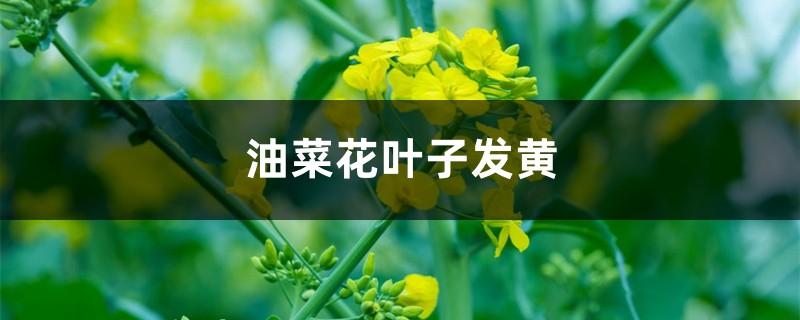 油菜花黄叶的原因和处理办法