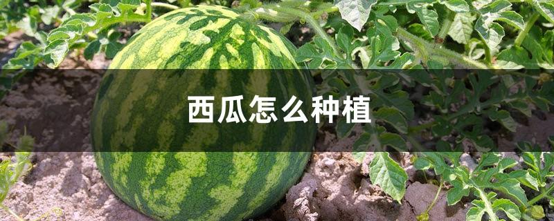 西瓜怎么种植,西瓜的作用
