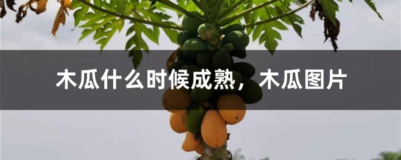 木瓜什么时候成熟,木瓜图片