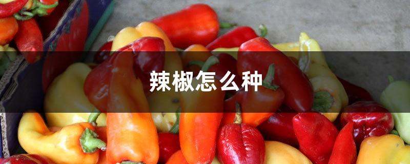 辣椒怎么种,辣椒的价格