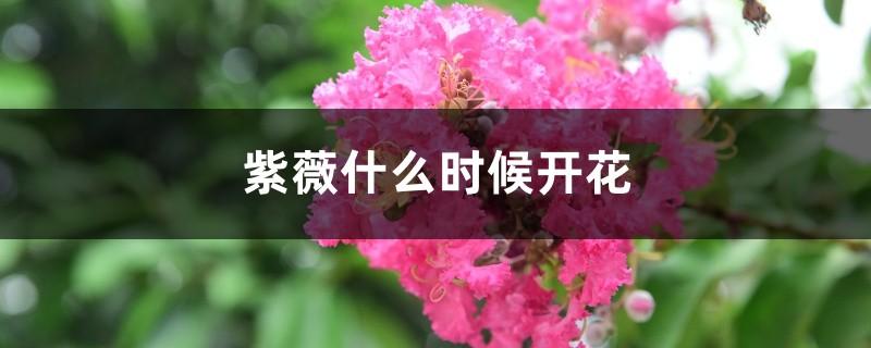 紫薇什么时候开花,紫薇花图片