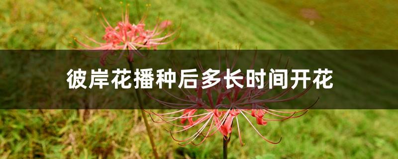 彼岸花播种后多长时间开花,彼岸花种子怎么播种