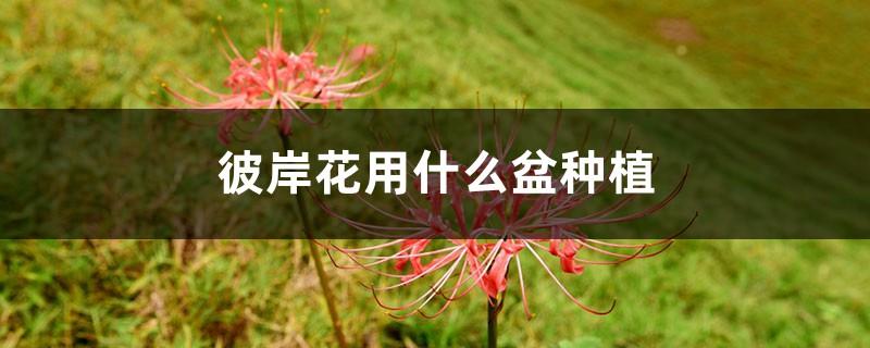 彼岸花用什么盆种植,夏季可以给彼岸花换盆吗