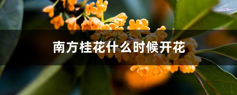 南方桂花什么时候开花,南方桂花与北方桂花的区别