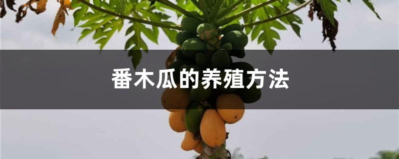 番木瓜的养殖方法