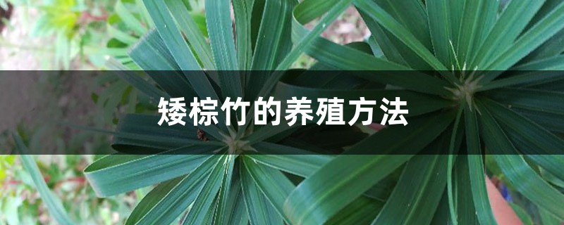 矮棕竹的养殖方法和注意事项