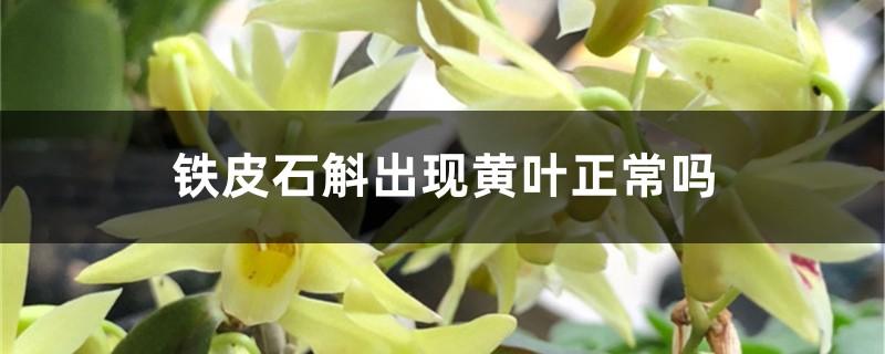 铁皮石斛出现黄叶正常吗,黄叶的原因和处理方法