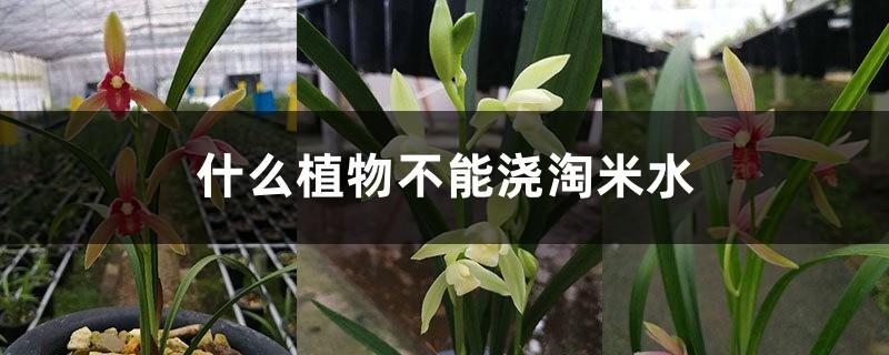 什么植物不能浇淘米水,可以浇建兰吗