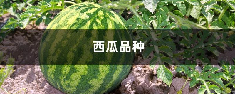 西瓜品种,西瓜图片大全