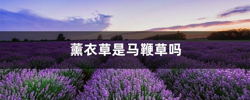 薰衣草是马鞭草吗,马鞭花和薰衣草一样吗