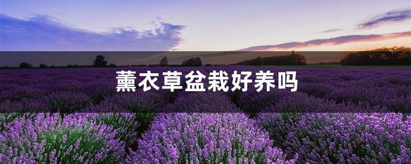 薰衣草盆栽好养吗,哪种薰衣草适合盆栽