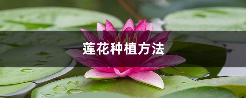 莲花种植方法,莲花可以用藕种植繁殖吗