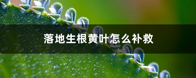 落地生根黄叶的原因和处理办法